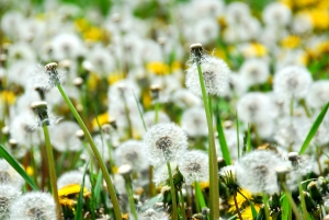 A field of blooming and seeding dandelions